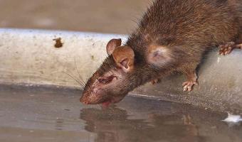 EU advierte por ratas agresivas por la falta de comida debido al confinamiento